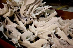 Saber tooth tiger skulls for John Carter of Mars