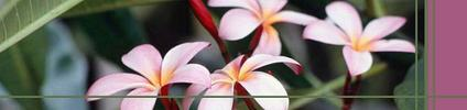 Frangipani_flowers_preview