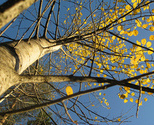 Umea_tree_thumb