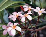 Frangipani_flowers_thumb