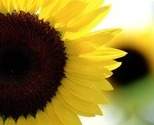 Sunflower_thumb
