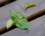 Rporch_leaves_ed_ed_ed_thumb