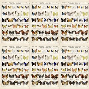Butterflies__exotic-_Staudinger