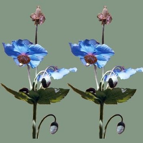 2Blue-poppies-MED-GRN