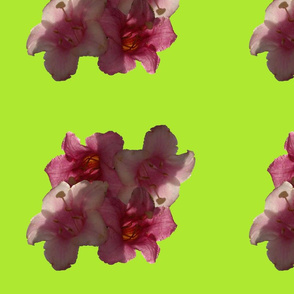 DOUBLE_PINK_SPOONFLOWER