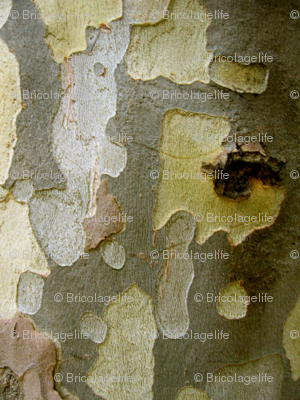 beech tree bark