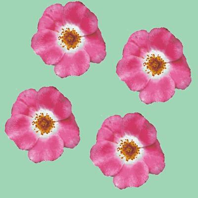 single_roses_Picnik_collage-ch