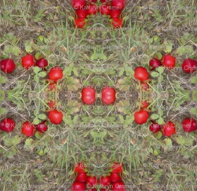 Windfall Apples, Westport, NY