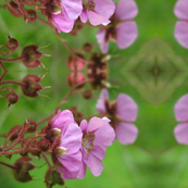 pink rasberry flowers