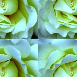 whiterose-ed