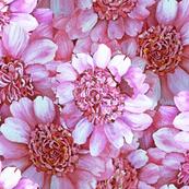 Pink Peony Field