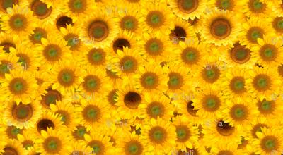 sunflower_patch