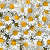 Newdaisies_shop_thumb