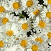 Rdaisywallpaper2_shop_thumb