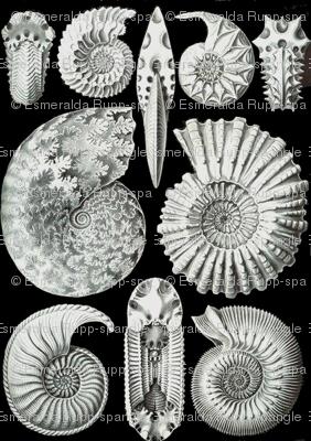 Haeckel Ammonitida