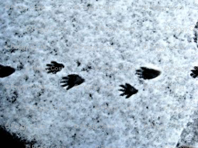 Lacy Raccoon footprints in the snow