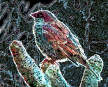 Rboba_birdie_edited-1_thumb