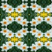 Edit_3_stretch_daffodils_shop_thumb