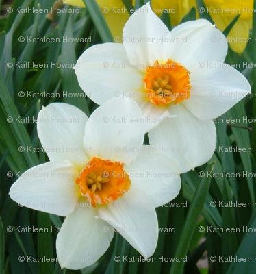 crop_1g_daffodils