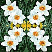 Rcrop_1g_daffodils_ed_ed_shop_thumb