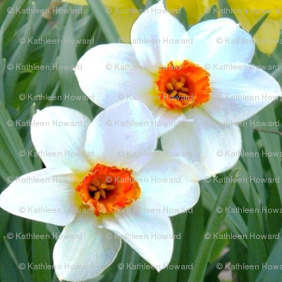 White and Orange Daffodil Beauties D-9