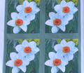 Runsharp_flowers_lighten_back_crop_daffodils-2007_002_ed_ed_ed_ed_ed_comment_12887_thumb