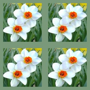 Bordered Daffodil Beauties D-8
