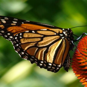 butterfly_close_up