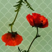 Rpoppypattern1copy_shop_thumb