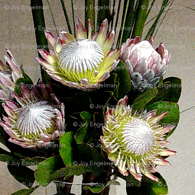 Proteas - wonderful dramatic flowers