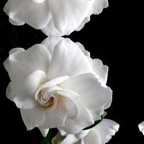 Gardenia Abundance