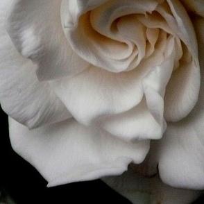Gardenia Youre Lovely