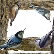 Rrnuthatch_shop_thumb