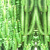 Leafy Cactus