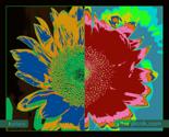 Rsunflower_ed_thumb