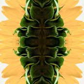 Rside_view_of_sunflower_by_emilyrosecaspe-d2zsjbh_copy_shop_thumb