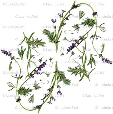 lavender garden - © Lucinda Wei