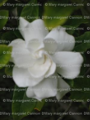 IMG_3278 - California Gardenia