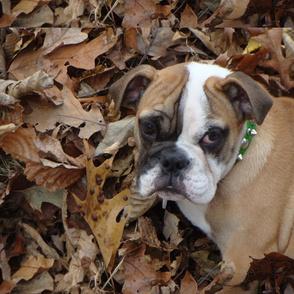 Winston the Bulldog