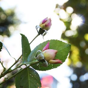 Sun and Rosebud