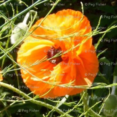 Colleen's poppy