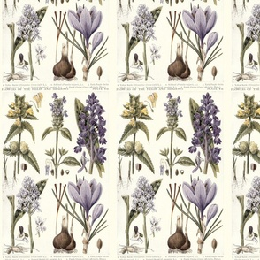 Antique botanical drawing in lavenders on white