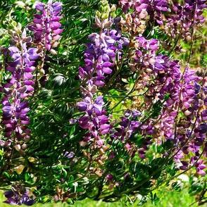 California lupines