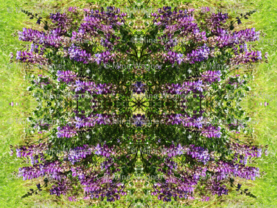 Lupine_reflections_1