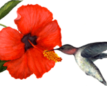 Rrrrwatercolor_hibiscus_and_hummingbird_thumb