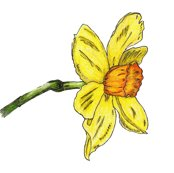 Rrrrdaffodil-zazzle-nosig_shop_thumb