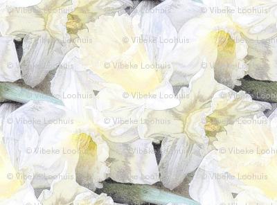 Ivory daffodil