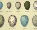 Rranimal-bird-eggs-2_thumb