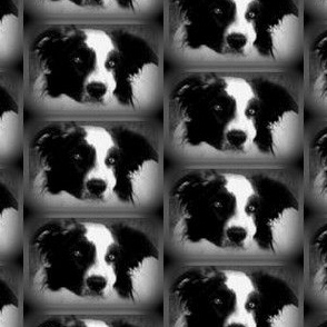 bandit border collie