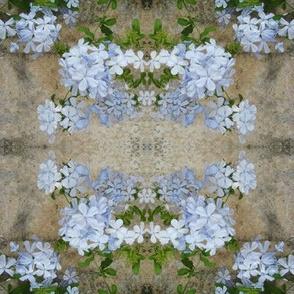 Blue Phlox-0532